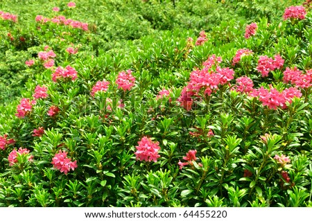 Mountain Azalea - stock photo