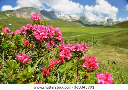 Mountain Azalea, Switzerland