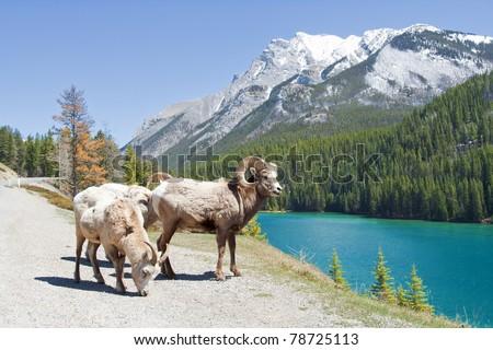 Mountain Bighorn Sheep on Lake Minnewanka, Alberta, Canada - stock photo