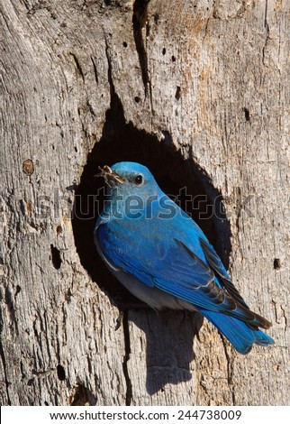 Mountain Bluebird, Sialia currucoides, male at nest hole at a cavity in a Ponderosa Pine tree in the Cascade Mountains, Washington State; Pacific Northwest birding and wildlife  - stock photo