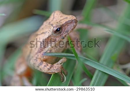 Mountain Chorus frog - stock photo