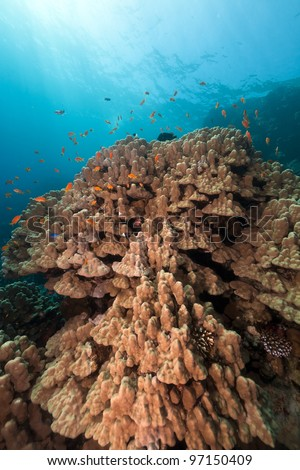Mountain coral in the Red Sea - stock photo