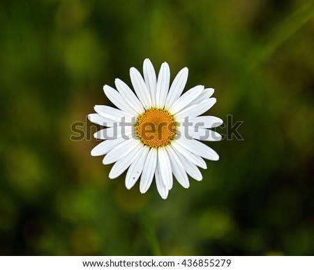 Mountain daisy flower seen from above with selective focus - stock photo