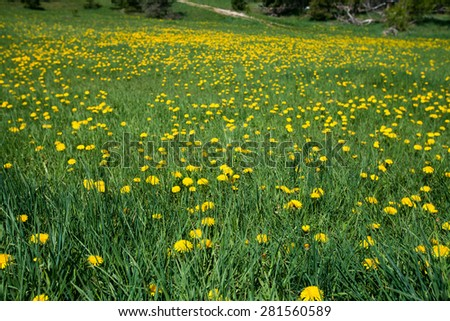 Mountain dandelions - stock photo