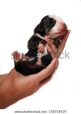 mountain dog puppy in hands on a white background - stock photo