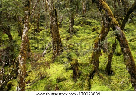 Mountain forest on the South island of New Zealand