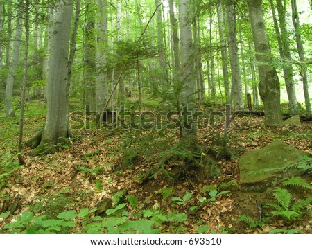Mountain forest with fern and boulders