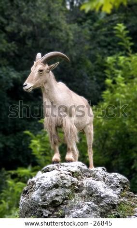 Mountain Goat - stock photo