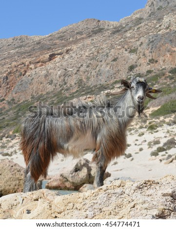 Mountain Goat at the beach at Balos Lagoon, Crete