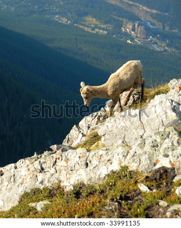 Mountain goat climbing on the cliff of sulphur mountain, banff national park, alberta, canada - stock photo