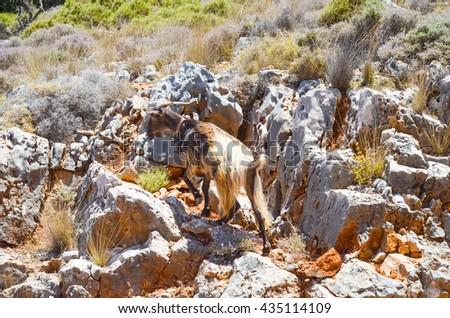 mountain goat climbs the mountain. (Greece, Crete) - stock photo