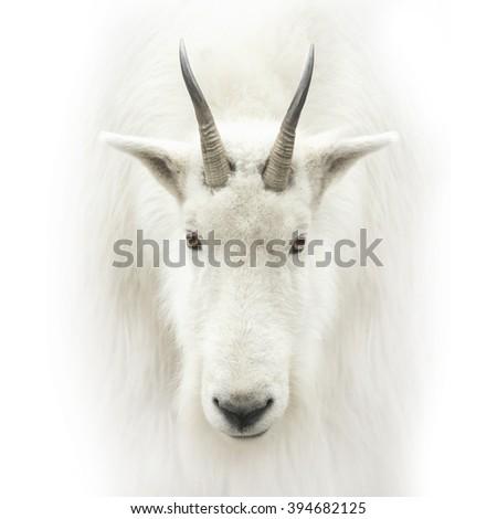 mountain goat head isolated on white - stock photo