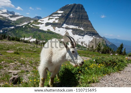 Mountain goat in Glacier National Park, Montana. - stock photo