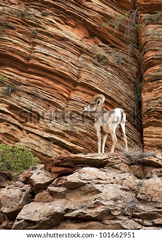Mountain goat in Zion National Park, Utah, USA. - stock photo