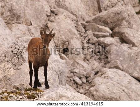 Mountain goat, Italy - stock photo