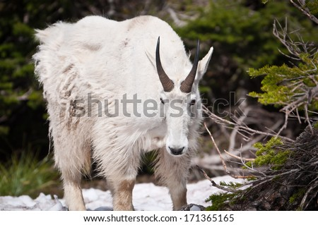 Mountain goat looking down at the Glacier National Park - stock photo