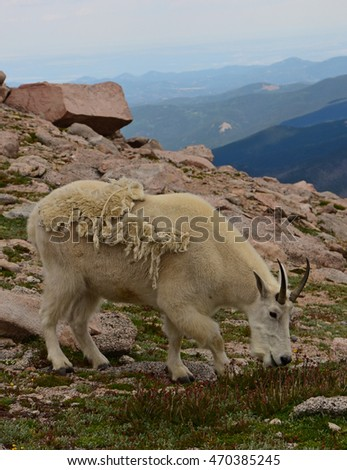 mountain goat nanny grazing  on mount evans, colorado