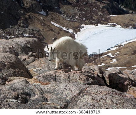 Mountain goat on a hill opposite Summit Lake on Mt. Evans/ Mt. Evans Mountain Goat 2/ Mountain goat climbing - stock photo