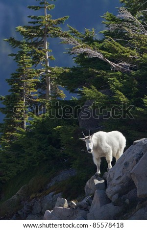 Mountain Goat on Cliff