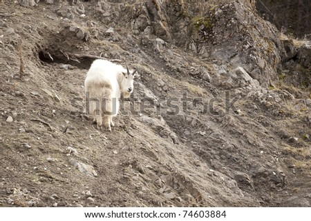 Mountain Goat on Rocky Face