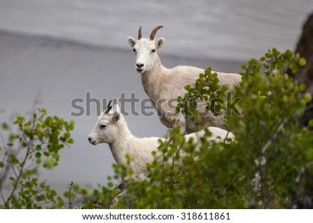 Mountain goat (Oreamnos americanus) along Seward highway,  Alaska - stock photo