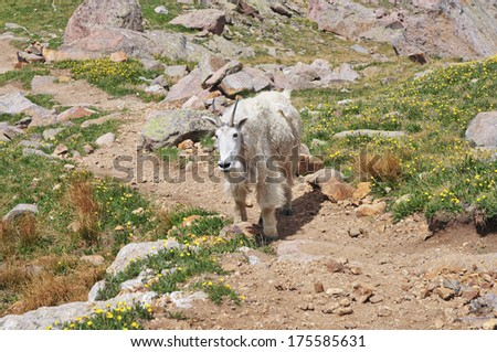 Mountain Goat, Rocky Mountains - stock photo