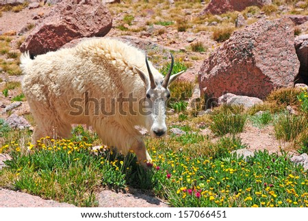 Mountain Goat, Rocky Mountains USA - stock photo