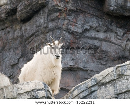 Mountain goat standing on a cliff edge - stock photo