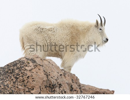 Mountain goat standing on a rock in the snow - stock photo