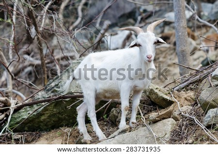 Mountain goat standing on a rock, North Carolina - stock photo
