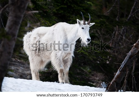 Mountain goat standing on the snow with in the forest - stock photo