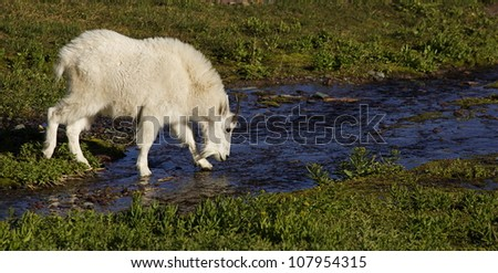 Mountain Goat walking across an alpine stream