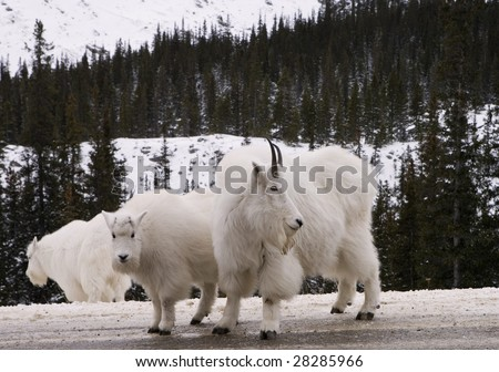 Mountain Goats in Jasper National Park - stock photo