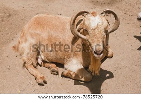 mountain goats in zoo environment - stock photo