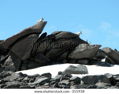 Mountain Goats near the base camp for Granite Peak, Montana - stock photo