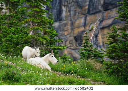 Mountain goats resting among wildflowers.  Glacier National Park, Montana.