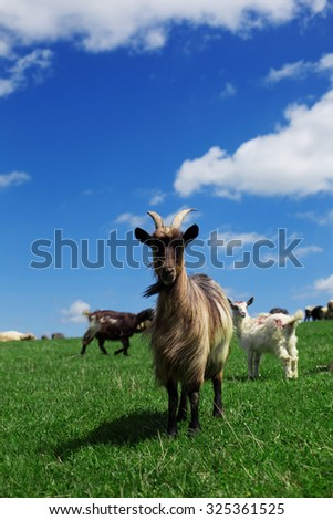 Mountain Goats with bell Switzerland Suisse Swiss - stock photo