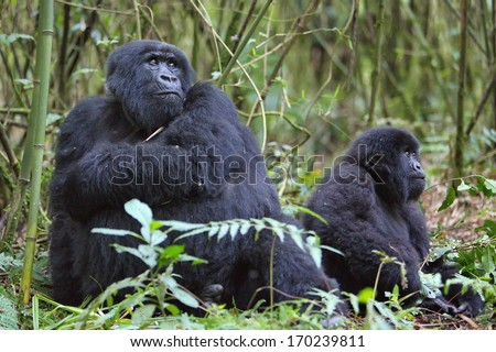 Mountain gorilla and baby in forest - stock photo