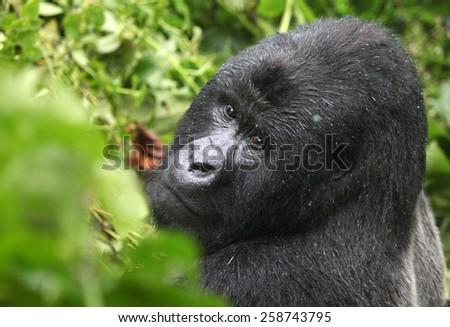 Mountain gorilla, Democratic Republic of Congo, Safari, Wildlife, Monkey, Africa, Jungle - stock photo