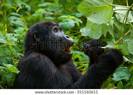 Mountain gorilla eating plants. Uganda. Bwindi Impenetrable Forest National Park.