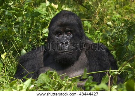 mountain gorilla from the virunga mountains, rwanda - stock photo