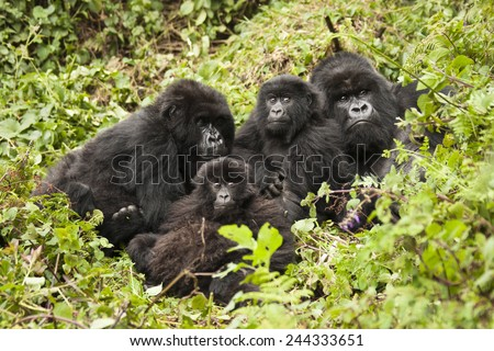 Mountain gorilla,  Gorilla beringei beringei, Amahoro group, family group, silverback, female, baby or babies, Volcanoes National Park, Rwanda, East Africa - stock photo