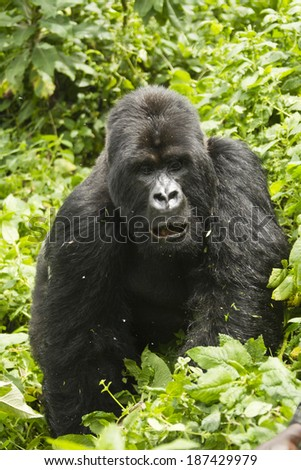Mountain Gorilla, Gorilla gorilla beringei, Sabyinyo Group, Volcanoes National Park, Rwanda