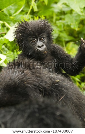 Mountain Gorilla, Gorilla gorilla beringei, Sabyinyo Group, Volcanoes National Park, Rwanda, baby riding on mothers back - stock photo