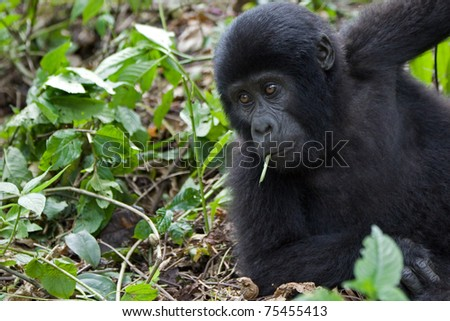 Mountain gorilla looking amused like a cool dude. Member of the Nkoringo family. - stock photo