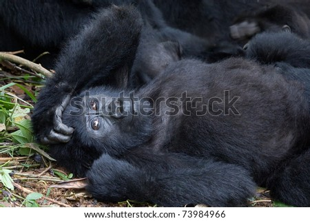 Mountain gorilla lying down with her hand on her head looking amused. Member of the Nkoringo family. - stock photo