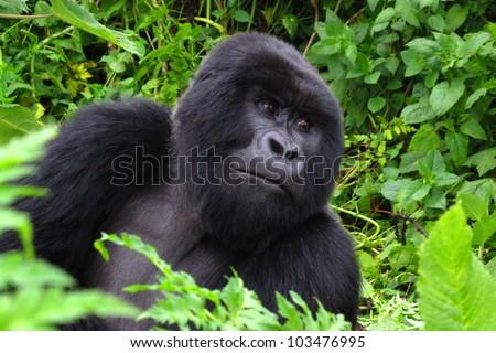 Mountain gorilla male - Rwanda - stock photo
