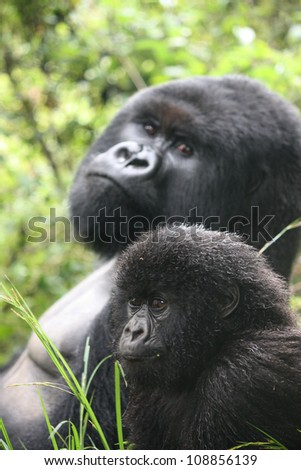 Mountain gorilla sire and baby - stock photo