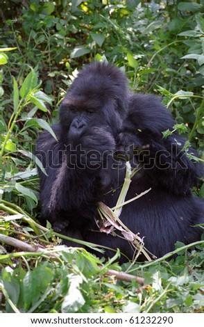 Mountain gorilla, Volcano National Park, Rwanda - stock photo