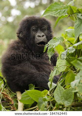 Mountain gorillas, Gorilla gorilla beringei,  ENDANGERED, Kwitonda group, baby, Volcanoes National Park, Rwanda
